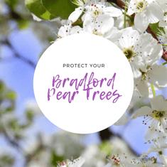 white bradford pear tree flowers