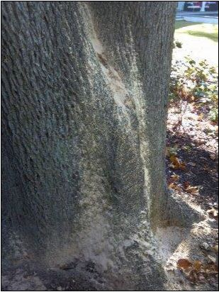 Sap Oozing from Ambrosia Beetle Fungal Garden on Tree in North Carolina