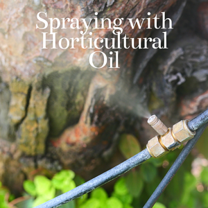 spraying with horticultural oil