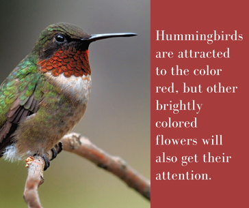 Plant red flowers to attract hummingbirds to your Charlotte, NC yard