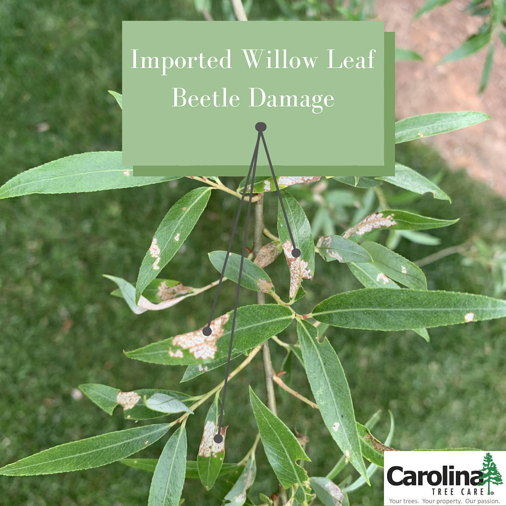 Imported Willow Leaf Beetle Damage