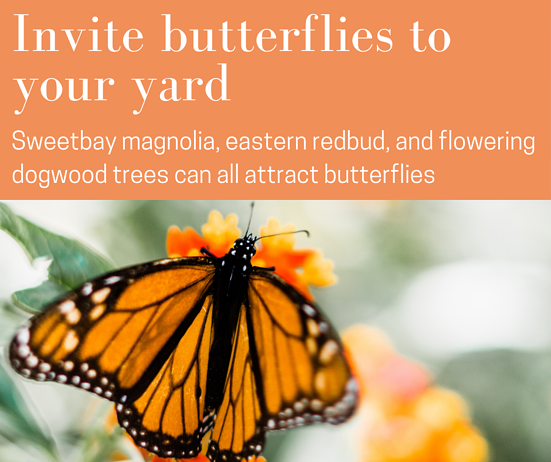Invite butterflies to your Charlotte, NC yard with sweetbay magnolias or eastern redbuds.