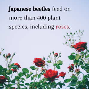 Japanese beetles feed on more than 400 plant species, including roses.
