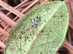 Lace Bugs On Azaleas