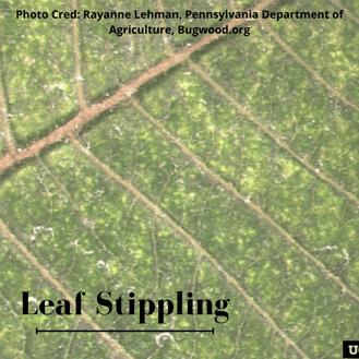 Leaf stippling caused by spider mites