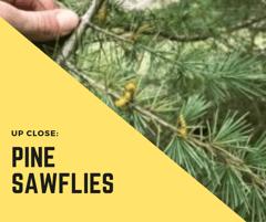 Pine Sawfly