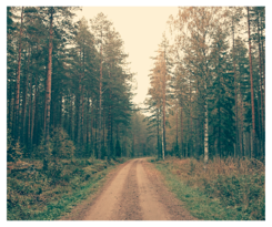 a dirt road surrounded by pine trees
