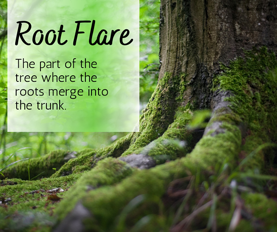 The root flare is the part of the tree where the roots merge into the trunk