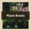 Rose planting graphic