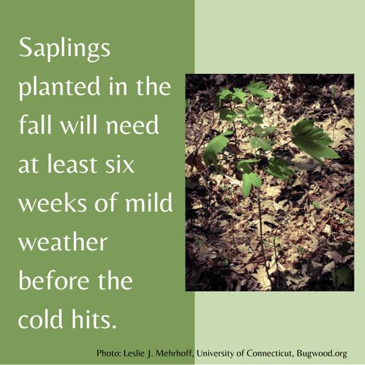 Saplings need 6 weeks of mild weather