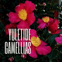 Yuletide Camellias