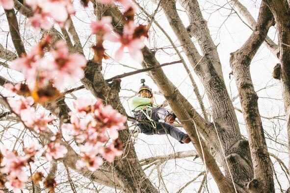 a carolina tree care crew member up in a flowering tree