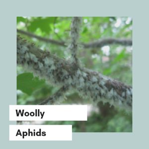 woolly aphids 2